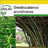 SAFLAX - Set de cultivo - Bambú de interior - 50 semillas - Con mini-invernadero, sustrato de cultivo y 2 maceteros - Dendrocalamus arundinacea