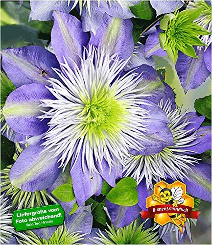 BALDUR-Garten Waldrebe Clematis 'Crystal Fountain TM' winterhart, 1 Pflanze Klematis mehrjährige blühende Kletterpflanzen