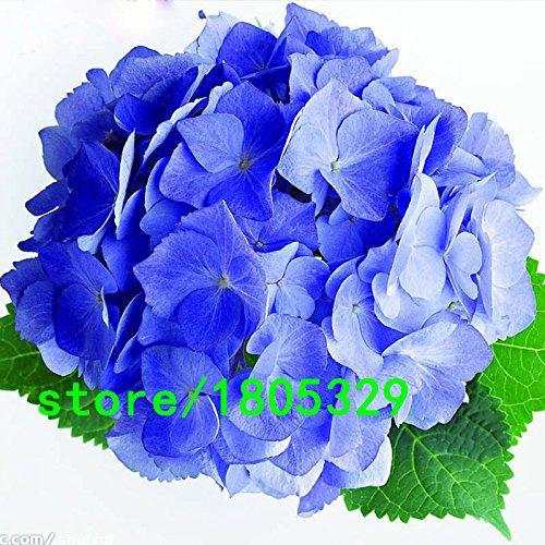 Hot Sale Rare hortensia bleu Graines balcon Bonsai Fort Viburnum Hydrangea macrophylla Bonsai Fleur Plante Graines 100PCS