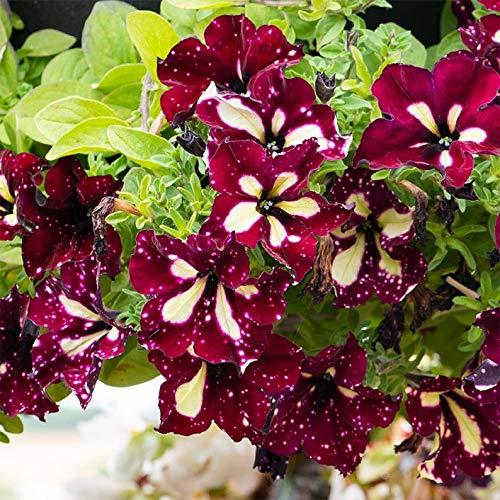 Hybride Petunien 80 Samen