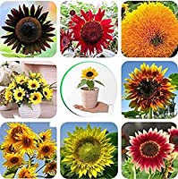 50個ミックスヒマワリの種鮮やかな色の花装飾中庭観賞お祝いの装飾花束意味する幸福簡単に植物高収量のための適切な初心者庭師