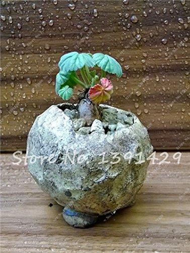 Multi Color 100 pcs Mini Bonsai Géranium Graines vivaces Graines de fleurs Pelargonium Peltatum Jardin Plantes en pot Fleurs Sementes 24