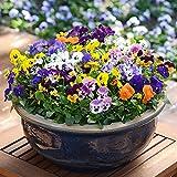 Yumhouse Semillas de Flores para Jardin,Cangflower Seed Balcony Planting Potted butterflies-20 Capsules_Rose Red Belt,Semillas de Flores Exterior trepadoras