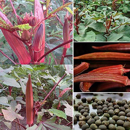 Oce180anYLVUK Rote Okra-Samen, 100 Stück/Beutel Knusprige Rote Okra-Samen Mehrjährige Abelmosk-mehrjährige Gemüsesamen Für Den Bauernhof Rote Okra-Samen