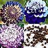 AGROBITS 50 Pz Dalia semi di fiore di bellezza facile da coltivare il giardino domestico di fiori freschi Ka #1