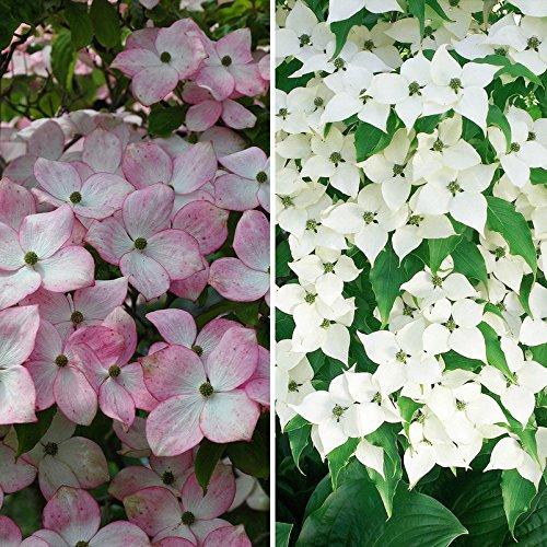Gehölz-Set Blütenhartriegel, 2 Pflanzen im Set, je im 5 l Topf
