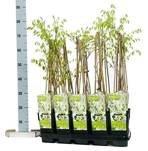 Winterharter Garten Blauregen, Japanischer Blauregen, (Wisteria sinensis), ca. 65cm hoch im 15cm Topf, (Weiss, Sorte: Wisteria floribunda Alba)