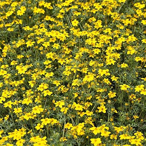Potentilla 'gelb' Gemeiner Fingerstrauch immergrüner Bodendecker mit gelben Blüte im Topf gewachsen (10 Stück)