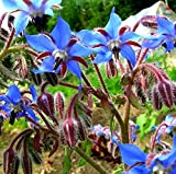 Semillas de Borraja - Borago officinalis