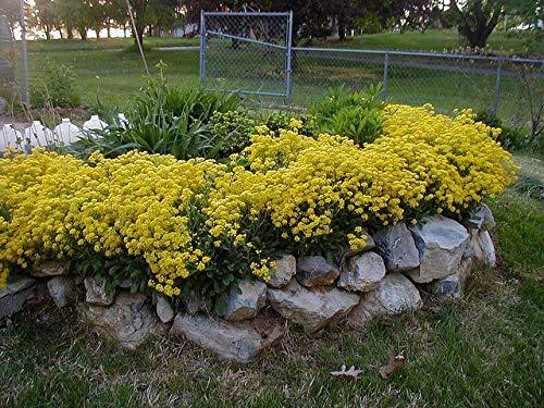 1000 Seeds of Aurinia saxatili, Golden Alyssum, Basket-of-Gold
