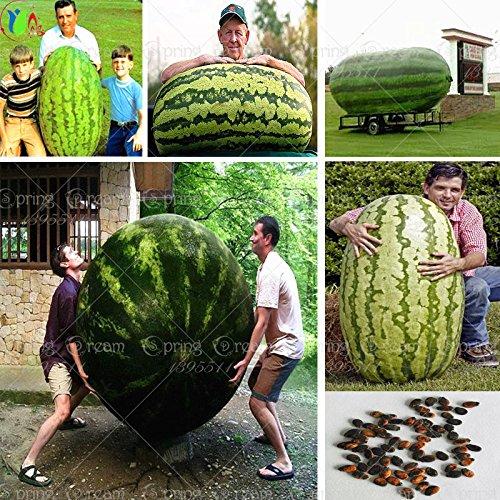 30 / sac de graines de melon d'eau géant, légumes du goût sucré et les graines de fruits très géants délicieux