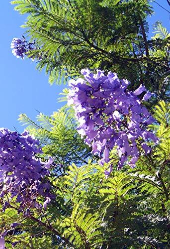 Seedeo® Anzuchtset Jacaranda (Jacaranda mimosafolia)