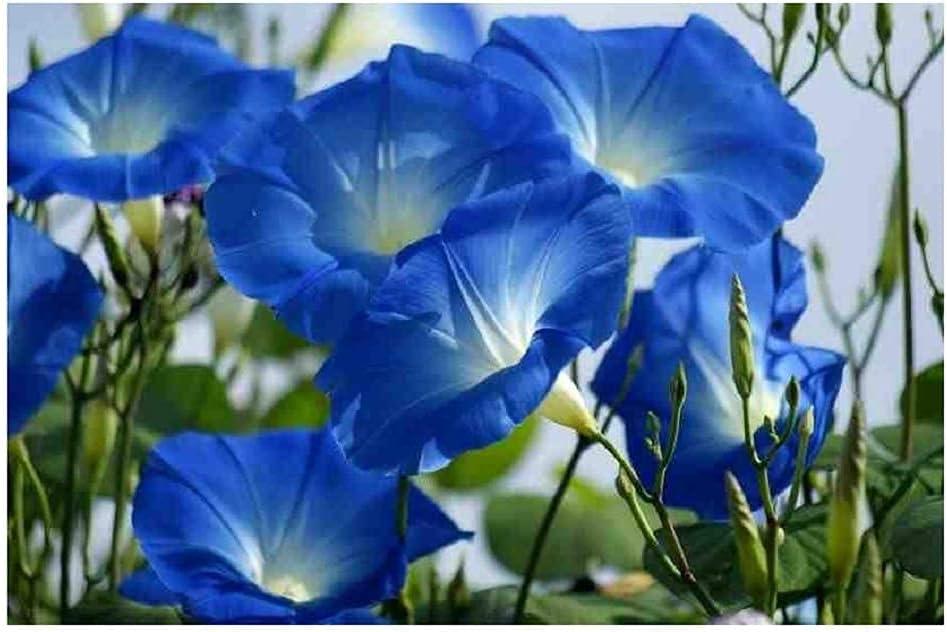 David's Garden Seeds Flower Morning Blue Sales Heavenly SAL1818 Glory cheap