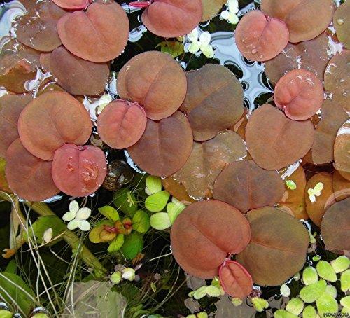 Schwimmende Wolfsmilch / Phyllanthus fluitans - Wasserpflanzen