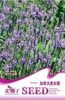 blue vervain for sale