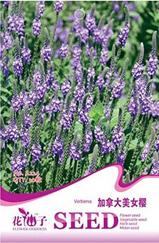 Verbena hastata Blau Vervain Perennial Blumensamen, Originalverpackung, 30 Samen / Pack, Sumpf Verbena blühende Pflanze A224