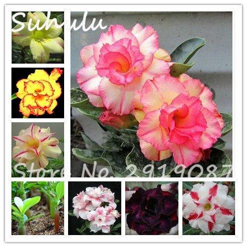 (100pcs Seeds)1 pcs Adenium Obesum Seeds Colorful Desert Rose Seeds Indoor Bonsai Beautiful Perennial Fragrant Flowers Light up Your Garden 1