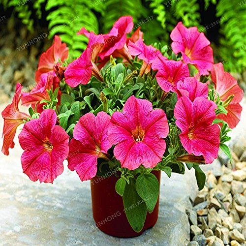 Escalade Pétunia Graines de fleurs Jardin Bonsai Balcon Petunia hybrida semences de fleurs de 20 espèces Bonsai plante facile à cultiver 100 Pcs 9