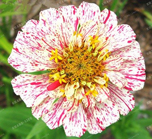 100PCS Zinnia Graines rares Variété chaleur Tolerant Jardin Fleur Plantes à fleurs en pot Charme chinois Fleurs Graines Facile croissance 13
