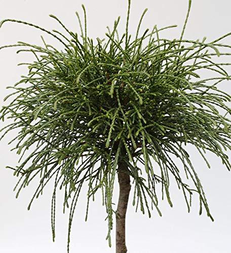 Hochstamm Faden Lebensbaum Whipcord...