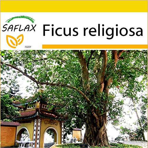 SAFLAX - Anzucht Set - Buddha-Feige/Bodhi-Baum - 100 Samen - Mit Mini-Gewächshaus, Anzuchtsubstrat und 2 Töpfen - Ficus religiosa