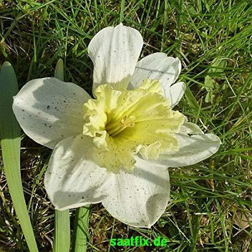 Blumenzwiebel-Sortiment Narzissenzwiebeln Narzissen Osterglocken 150 Stück; 5 Sorten; je 30 St. Mischung