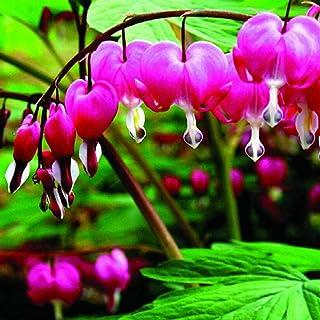 100Pcs Fuchsia Hybrida Seeds Ornamental Flower Home Garden Office Bonsai Decor - Rose Red Fuchsia Hybrida Seeds