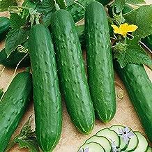 Saladmore Bush Hybrid Cucumber 25 Seeds