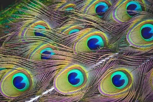 """Dashington Peacock Feathers, 30""""-40"""" (Pack of 20)"""