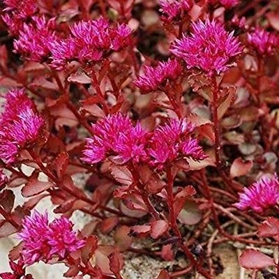 Sedum Voodoo Succulent Seeds (Sedum Spurium) 100+Seeds