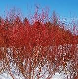 Baileyi Red Twig Dogwood - 4' Pot - Cornus stolonifera