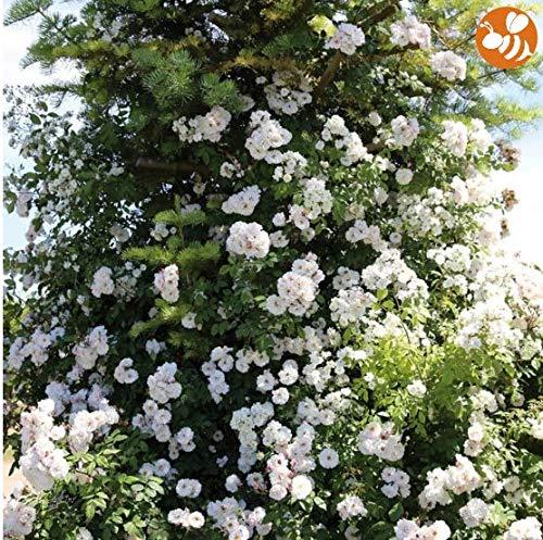 Qulista Samenhaus - 100pcs Rarität Weiß Ramblerrose 'Paul´s Himalayan Musk®' reichblühend, Blumensamen winterhart mehrjährig bienenfreundlich