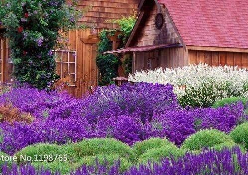 200 Graines Français Provence Lavande - très parfumée Graines Bonsai Fleurs de jardin