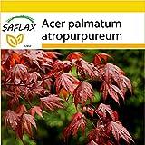SAFLAX - Anzucht Set - Roter Fächerahorn - 20 Samen - Mit Mini-Gewächshaus, Anzuchtsubstrat und 2 Töpfen - Acer palmatum
