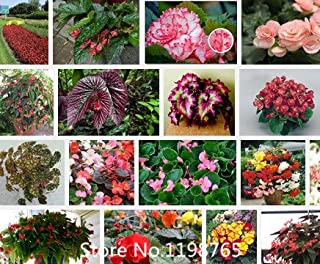 Promotion Superior Begonia Seeds Promotion!!! 24 Types 300pcs flower seeds Novel Seed