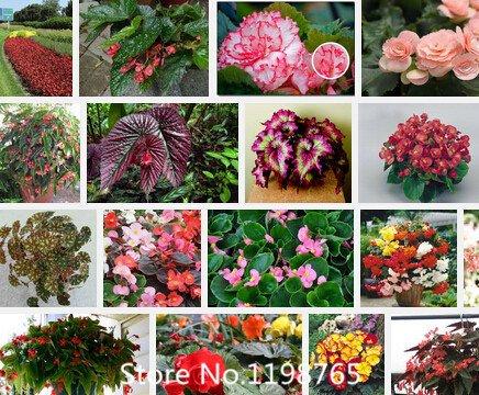 Promotion Supérieure Begonia Seeds Promotion!!! 24 Types 300pcs graines de fleurs Novel Seed