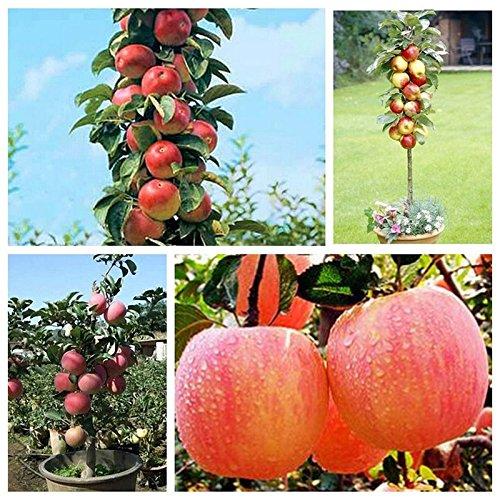 DEWIN Apfel Samen - 20 STÜCKE Bonsai Apfelbaum Samen für Hausgarten, Outdoor-Leben Obst Pflanzensamen