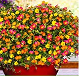 Acecoree Samen Haus- 100 Stücke Buntes gefüllt blühendes Portulac-Röschen Portulaca Grandiflora Blumensamen Saatgut winterhart mehrjährig Blumen bienenfreundliche Blumensamen Garten