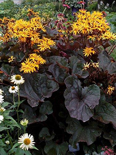 Stern-Goldkolben 15 Samen, Ligularia...
