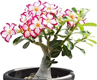 Desert Rose, Adenium Obesum one Year Plant , Baby Size Bonsai Caudex from Lankui (1 Rose)