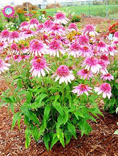 50PCS Rare orange Graines Echinacea vivace Graines de fleurs échinacée Showy Beaucoup-doublé capitules Plante en pot pour le jardin 9