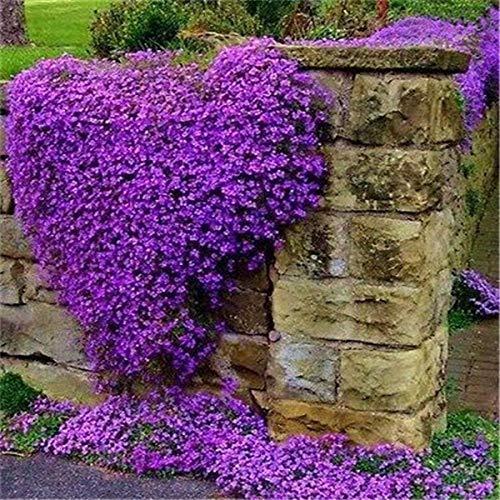 SANHOC 100 Stück Creeping Thyme Bonsai Blume Rock Kresse Bodendecker Teppich Evergreen Garten Rasen Aubrieta Bonsai Freies Verschiffen: 1