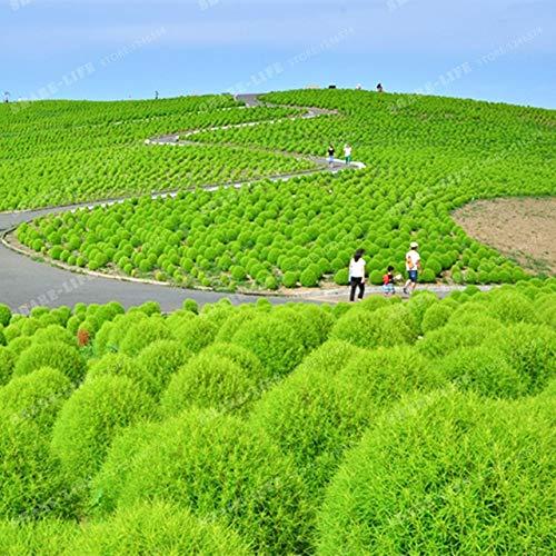 SANHOC Grass Bonsai Perennial 500pcs Kochia Scoparia Bonsai Red Garten Zier Easy Grow Grass brennende Dornbusch/Bonsai Pflanzen: 2