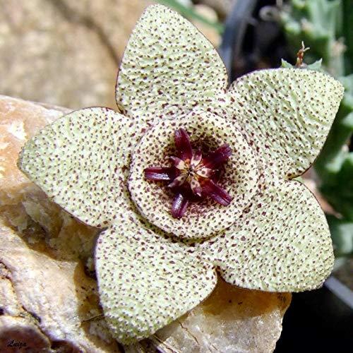 prime vista 120 Stücke Bonsai Pflanzen Stapelia Pulchella pflanze mehrjährige Blume Bonsai Einfach Wachsen für DIY Hausgarten Pflanzen Reinigen der Luft: 5