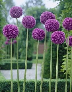Van Zyverden 87125 Allium Giganteum Set of 1 Bulbs, 24/+ cm, Purple