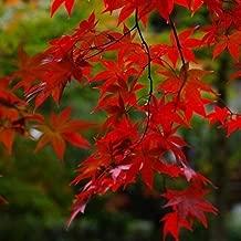 15 Seeds Red Maple Tree Seeds #UDS3