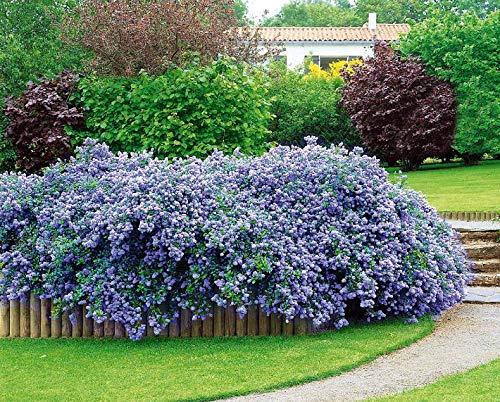 Qulista Samenhaus - Raritäten Säckelblume Ceanothus Blau immergrün Zierstrauch Kalifornischer Flieder Kletterpflanzen Blumensamen winterhart mehrjährig pflegeleicht