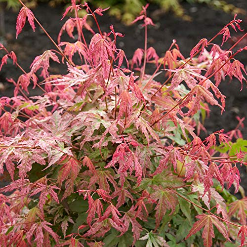 Japanese Maple, Acer palmatum 'Phoenix' in 9cm Pot
