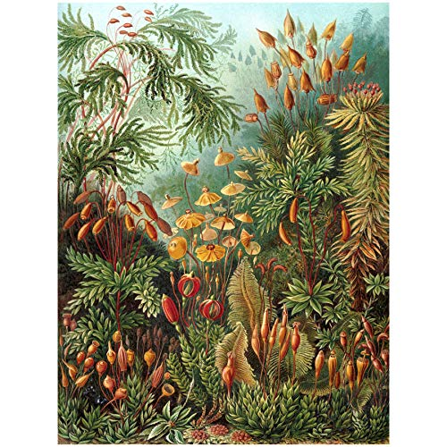 Bumblebeaver Nature Art ERNST Haeckel SEA Plant Biology Germany Vintage Poster Print 12x16 inch 30x40cm Natur Pflanze Biologie Deutsche Jahrgang