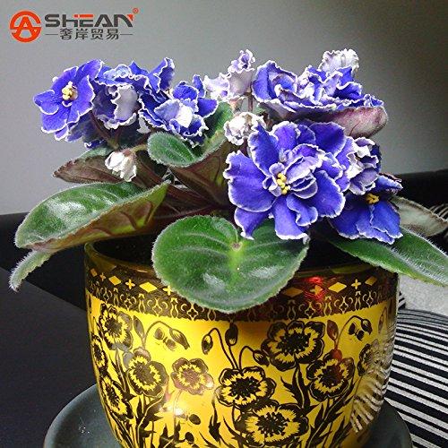 50 PCS une variété de couleurs Violet Plantes Graines de jardin (Rouge Bleu Violet Blanc) Violet Fleurs vivaces Herb Matthiola Incana Seed